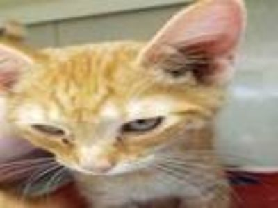 Adopt MR.PAWFECT a Domestic Short Hair
