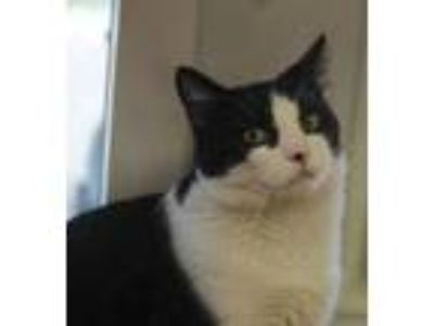 Adopt Larry a Maine Coon, Domestic Short Hair