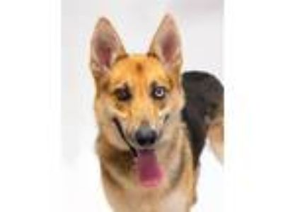 Adopt Tommy a Shepherd (Unknown Type) / Siberian Husky / Mixed dog in San Luis