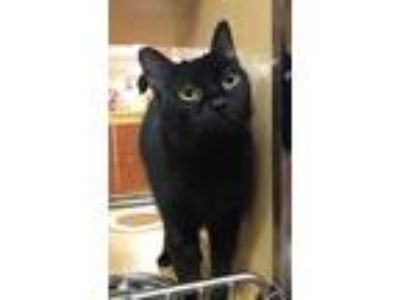 Adopt Kai a All Black Domestic Shorthair / Mixed (short coat) cat in Dawson