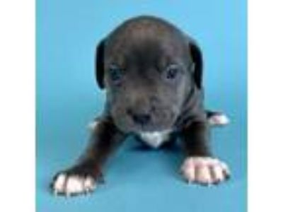 Adopt Boba a Mixed Breed, Pit Bull Terrier