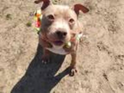 Adopt Troy a Pit Bull Terrier, Mixed Breed