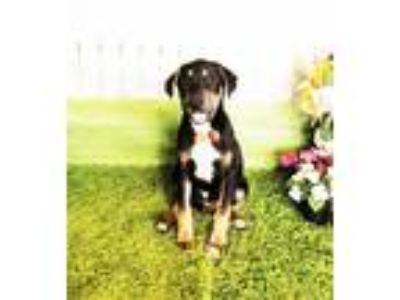 Adopt Marty a Tricolor (Tan/Brown & Black & White) Labrador Retriever / Mixed