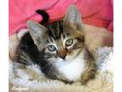 Adopt ENIGMA a Gray, Blue or Silver Tabby Domestic Shorthair (short coat) cat in