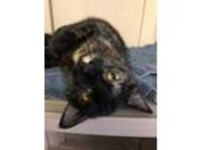 Adopt Receey a All Black Domestic Shorthair / Domestic Shorthair / Mixed cat in