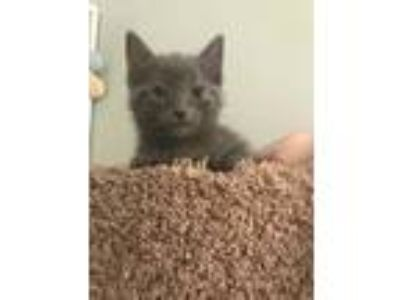 Adopt Sasha a Gray or Blue Domestic Shorthair / Domestic Shorthair / Mixed cat