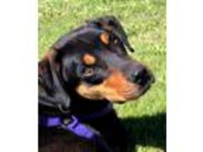 Adopt ALDER a Black - with Tan, Yellow or Fawn Black and Tan Coonhound / Terrier