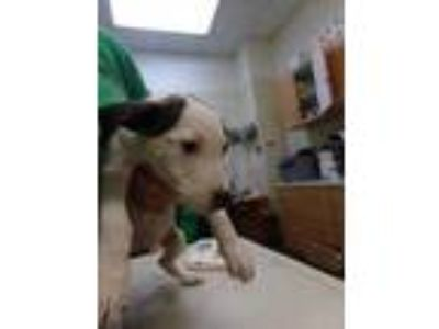 Adopt Blueberry a White Retriever (Unknown Type) / Bull Terrier / Mixed dog in