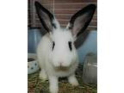 Adopt Starlight 659044 a White Other/Unknown / Other/Unknown / Mixed rabbit in