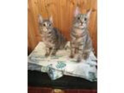 Adopt Spring a American Shorthair, Domestic Short Hair