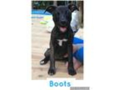 Adopt Boots a Black - with White Labrador Retriever / Mixed dog in Waterbury