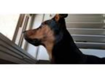 Adopt Buddy a Brown/Chocolate - with Black Rottweiler / German Shepherd Dog dog