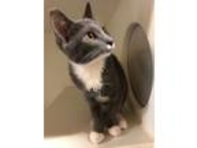 Adopt Addison (Available 6/15/19) a Domestic Short Hair