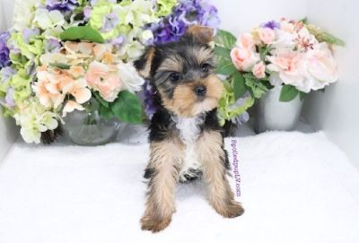 Yorkshire Terrier - Cayman - Male
