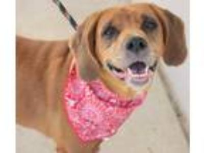 Adopt BELLA a Labrador Retriever
