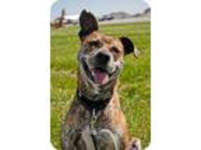 Adopt Dixie a Brindle Plott Hound / Terrier (Unknown Type