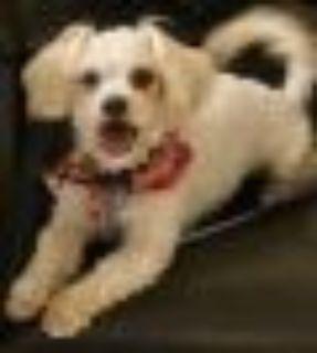 Houdini Maltese - Poodle Dog