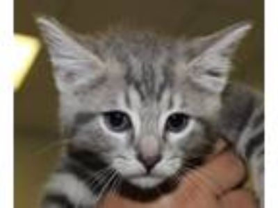 Adopt Marly a Domestic Short Hair