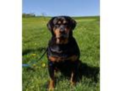 Adopt Mellow a Black - with Tan, Yellow or Fawn Rottweiler / Mixed dog in