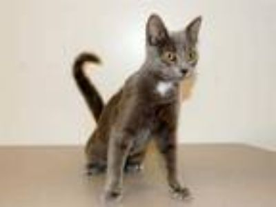 Adopt SASHA a Gray or Blue (Mostly) Domestic Shorthair / Mixed (short coat) cat