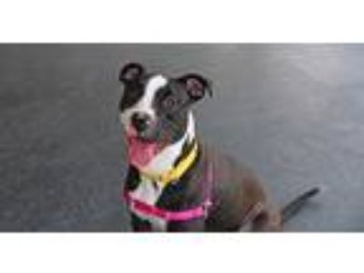 Adopt Toby a Black - with White American Pit Bull Terrier / Mixed dog in New