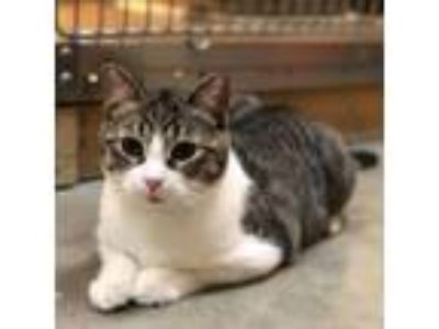Adopt Gypsy a Gray, Blue or Silver Tabby Domestic Shorthair (short coat) cat in