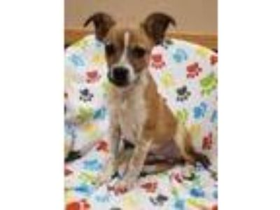 Adopt Larry a Tan/Yellow/Fawn Shepherd (Unknown Type) / Mixed dog in Woodstock