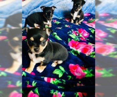 Shih Tzu PUPPY FOR SALE ADN-125481 - Chihuahua mix