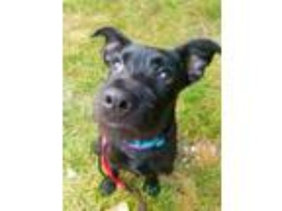 Adopt Jesse a Black Terrier (Unknown Type, Small) / Mixed dog in South Elgin