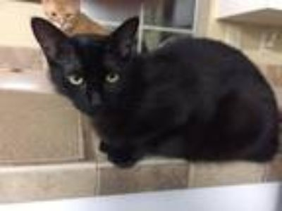 Adopt Salem a All Black Domestic Shorthair / Mixed cat in Shreveport