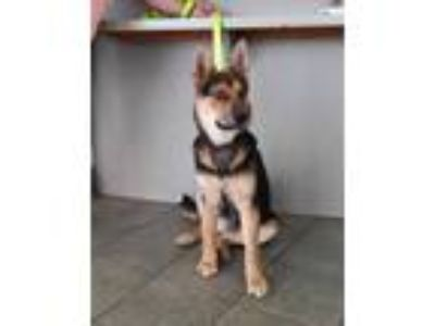 Adopt STANLEY a Black - with Tan, Yellow or Fawn German Shepherd Dog / Mixed dog