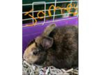 Adopt James a Tortoise Dwarf / Mixed (short coat) rabbit in Pottsville