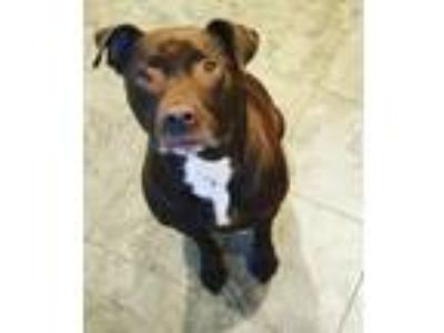 Adopt Olive a Brown/Chocolate American Pit Bull Terrier / Labrador Retriever /