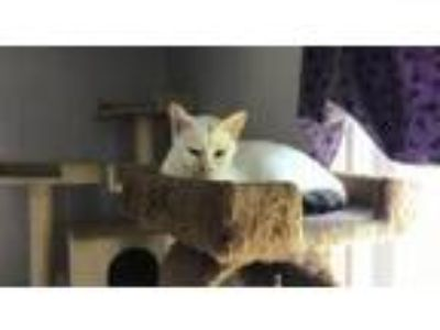 Adopt Smudge a Domestic Short Hair