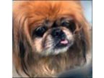 Adopt Missy a Pekingese