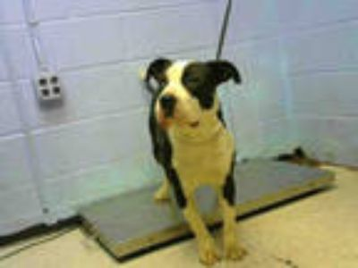 Adopt ASHA a White - with Gray or Silver American Pit Bull Terrier / Mixed dog