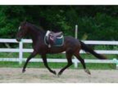 Adopt Star a Bay Standardbred / Mixed horse in Salisbury, MD (20148401)