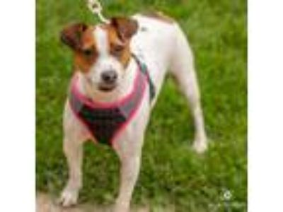 Adopt Randi a Jack Russell Terrier, Mixed Breed