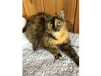 Adopt Foxy a Tortoiseshell Domestic Shorthair cat in Fresno, CA (25303769)