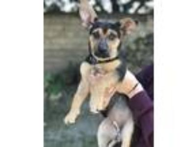 Adopt Pepper a Black - with Tan, Yellow or Fawn Dachshund / German Shepherd Dog