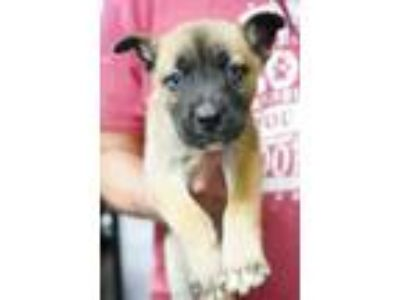 Adopt Merlot a Brown/Chocolate Husky / Shepherd (Unknown Type) / Mixed dog in