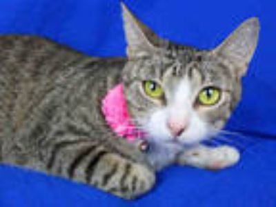 Adopt TETRA a Brown Tabby Domestic Shorthair / Mixed (short coat) cat in