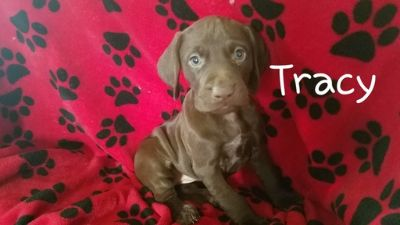 German Shorthaired Pointer PUPPY FOR SALE ADN-108336 - Hunting Dogs