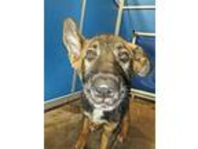 Adopt Cage 36 May 16 a German Shepherd Dog
