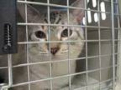 Adopt Tiger a Gray or Blue Siamese / Domestic Shorthair / Mixed cat in Irving