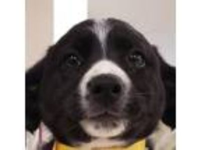 Adopt Brigitte a Black Border Collie / Mixed dog in Menands, NY (25929323)