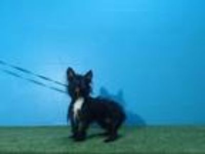 Adopt A431734 a Scottish Terrier, Mixed Breed