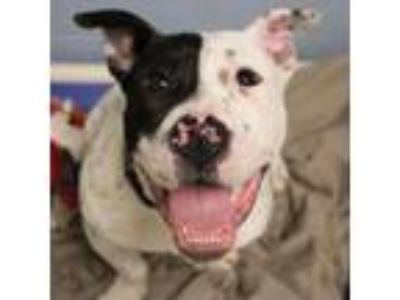 Adopt Marco a Pit Bull Terrier