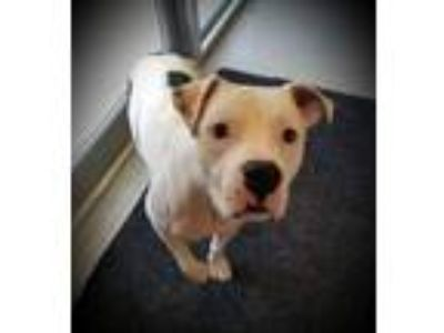 Adopt Ardee a Pit Bull Terrier
