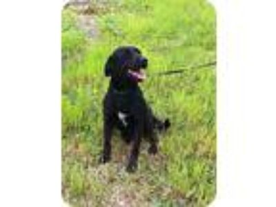 Adopt Mamma Dog a Black - with White Labrador Retriever / Mixed dog in Baton